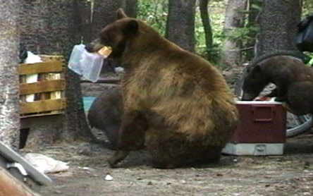 bears-in-campgrounds