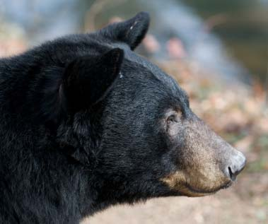 black_bear_profile