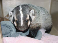 baby-badger_small